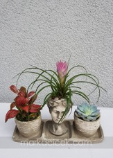 Fittonia & Tillandisa & Ecveria